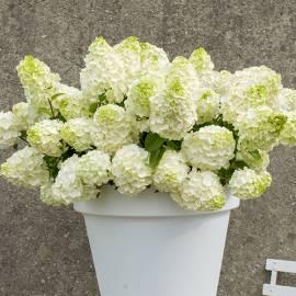 Hortensja bukietowa 'Magical Mont Blanc' Hydrangea paniculata