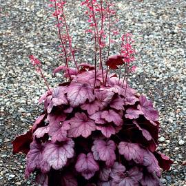 Żurawka 'Grape Soda' Heuchera