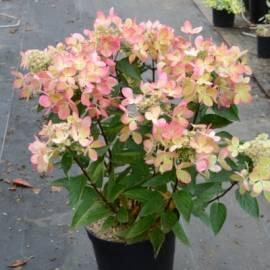 Hortensja bukietowa PASTELGREEN 'Renxolor' Hydrangea paniculata