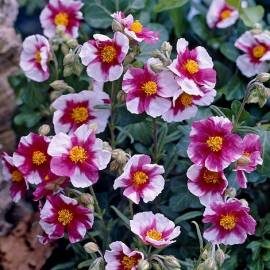 Posłonek 'Raspberry Ripple' Helianthemum