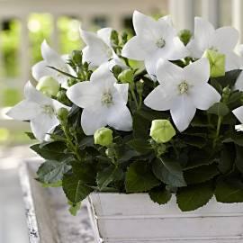 Rozwar wielkokwiatowy 'Astra White' Platycodon grandiflorus
