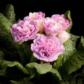 Pierwiosnek bezłodygowy Belarina 'Pink Champagne' Primula vulgaris