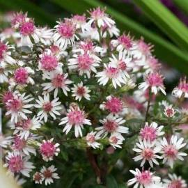 Aster bocznolistny 'Prince' Aster lateriflorus