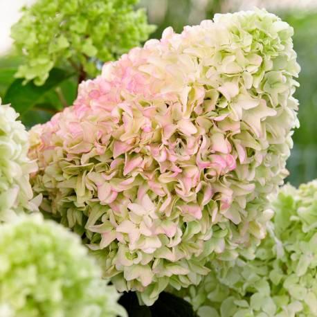 Hortensja bukietowa 'Little Fraise' Hydrangea paniculata