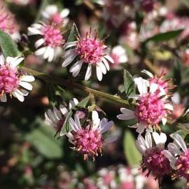 Aster bocznolistny 'Lady In Black' Aster lateriflorus