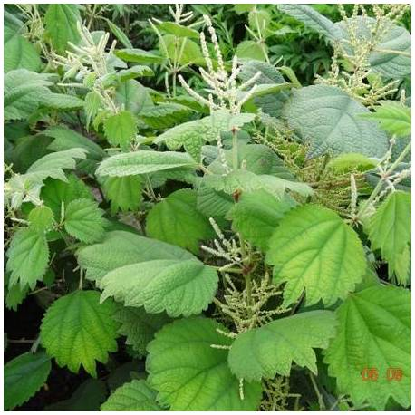 Bemeria platanolistna Boehmeria platanifolia