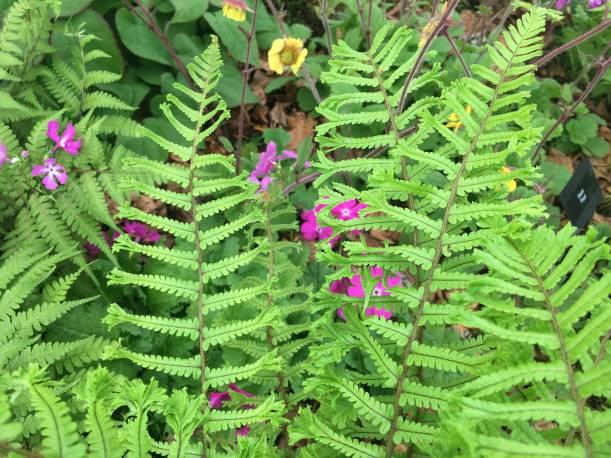 Narecznica mocna 'Cristata The King' Dryopteris affinis