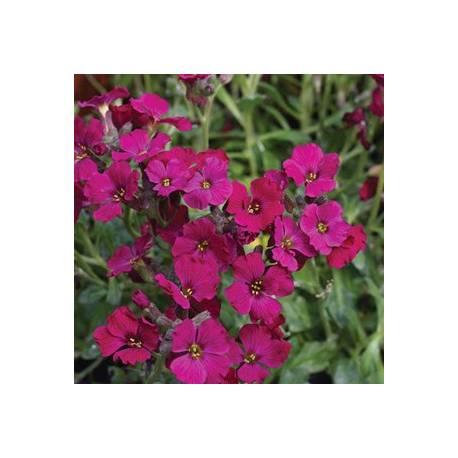 Żagwin ogrodowy 'Axcent Burgundy' Aubrieta x cultorum