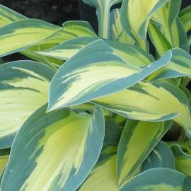 Funkia 'Magic Island' Hosta