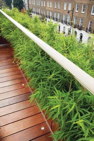 Bambus karłowaty Pleioblastus pygmaeus
