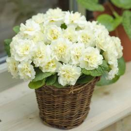 Pierwiosnek bezłodygowy Belarina 'Cream' Primula vulgaris