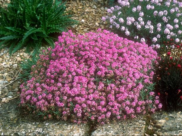 Smagliczek ciernisty 'Rubrum' Alyssum spinosum