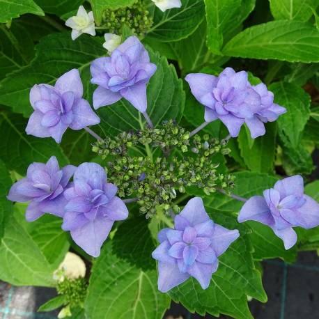Hortensja ogrodowa 'Etoile Violette' Hydrangea macrophylla