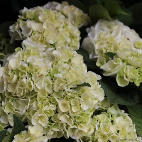 Hortensja ogrodowa 'Ice Girl' Hydrangea macrophylla