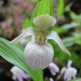 Obuwik 'Macra White' Cypripedium