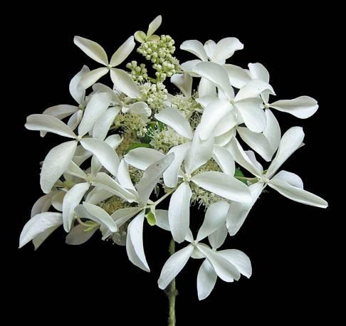 Hortensja bukietowa GREAT STAR 'Le Vasterival' Hydrangea paniculata