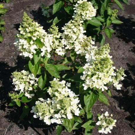 Hortensja bukietowa MAGICAL VESUVIO 'Kolmavesu' Hydrangea paniculata