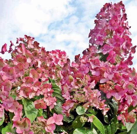 Hortensja bukietowa Magical Flame 'Bokratorch' Hydrangea paniculata