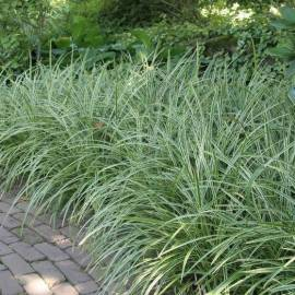 Turzyca Morrowa 'Ice Dance' Carex morrowii
