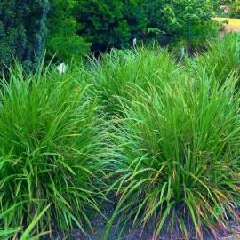 Turzyca Morrowa 'Irish Green' Carex morrowii