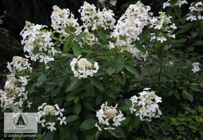 Hortensja bukietowa LEVANA 'Cov' Hydrangea paniculata