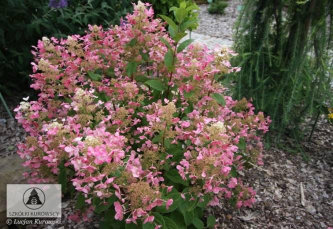 Hortensja bukietowa EARLY SENSATION 'Bulk' Hydrangea paniculata