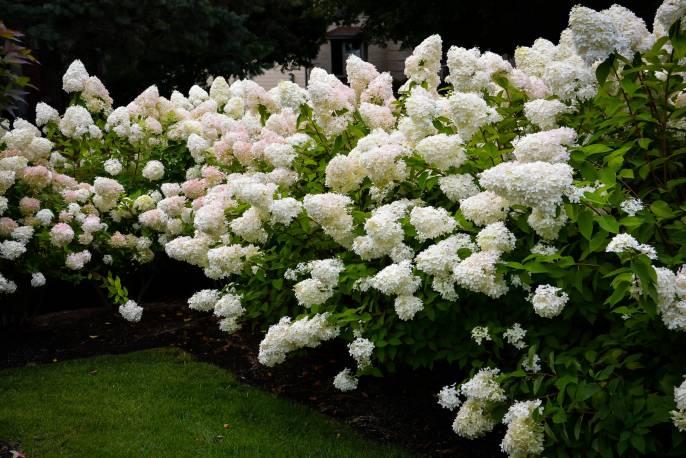 Hortensja bukietowa 'Bombshell' Hydrangea paniculata