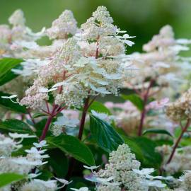 Hortensja bukietowa 'Early Harry' Hydrangea paniculata