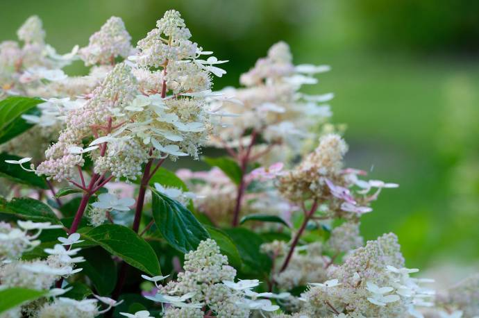 Hortensja bukietowa 'Early Harry' Hydrangea paniculata