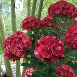 Hortensja ogrodowa 'Julisa' Hydrangea macrophylla