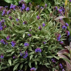Miodunka długolistna Pulmonaria longifolia subsp. cevennensis