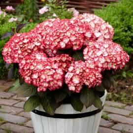 Hortensja ogrodowa 'Grafin Cosel' Hydrangea macrophylla