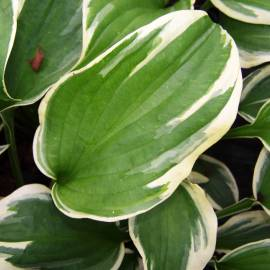 Funkia 'Silk Road' Hosta