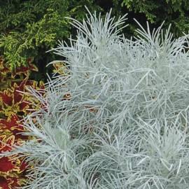 Bylica MAKANA 'Silver' Artemisia