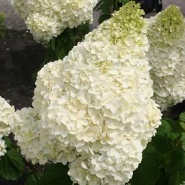 Hortensja bukietowa 'Silver Dollar' Hydrangea paniculata