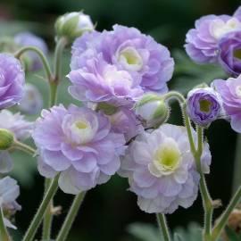 Bodziszek łąkowy 'Summer Skies' Geranium pratense