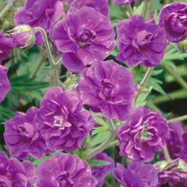 Bodziszek himalajski 'Plenum' Geranium himalayense