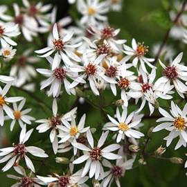 Aster rozkrzewiony 'Eastern Star' Aster divaricatus