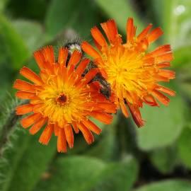 Jastrzębiec pomarańczowy Hieracium aurantiacum