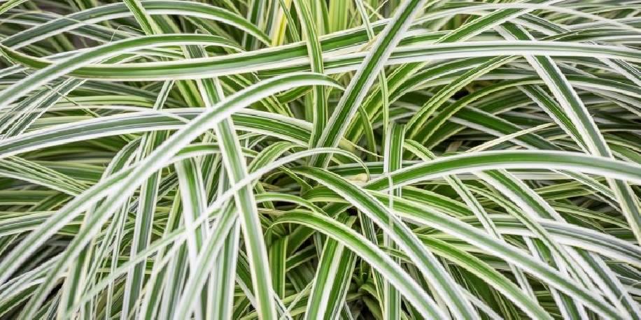 Turzyca 'Feather Falls' Carex