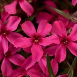 Floks szydlasty 'Scarlet Flame' Phlox subulata