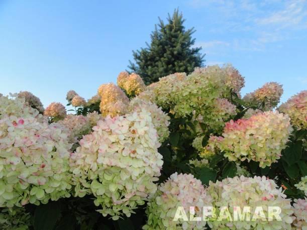 Hortensja bukietowa 'Grandiflora' Hydrangea paniculata