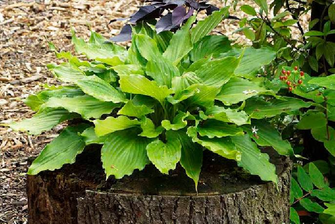 Funkia 'Stimulation' Hosta