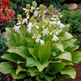 Funkia 'Royal Standard' Hosta
