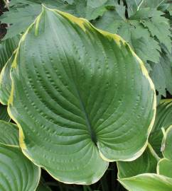 Funkia 'Leading Lady' Hosta