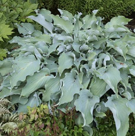 Funkia 'Joy Ride' Hosta