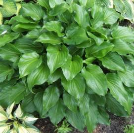 Funkia 'Invincible' Hosta