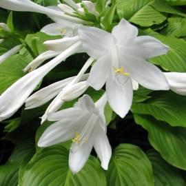 Funkia babkolistna 'Grandiflora' Hosta plantaginea