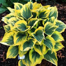 Funkia 'Majesty' Hosta