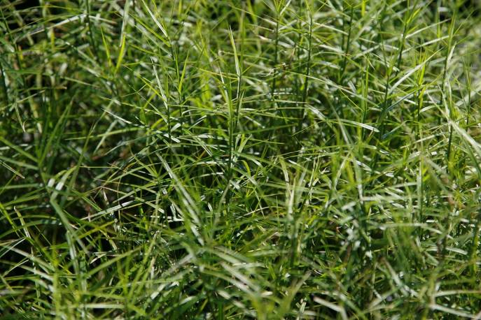 Turzyca palmowa 'Little Midge' Carex muskingumensis